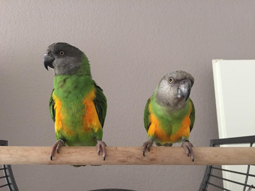 Senegal parrots on cage