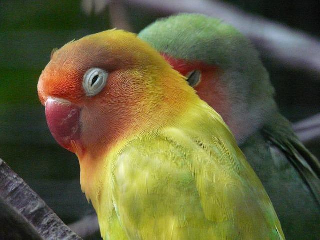 Gesundes Vogelfutter für Agaporniden
