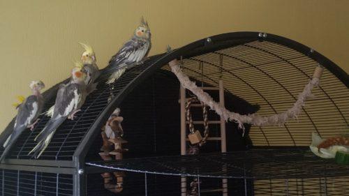 handicap birds