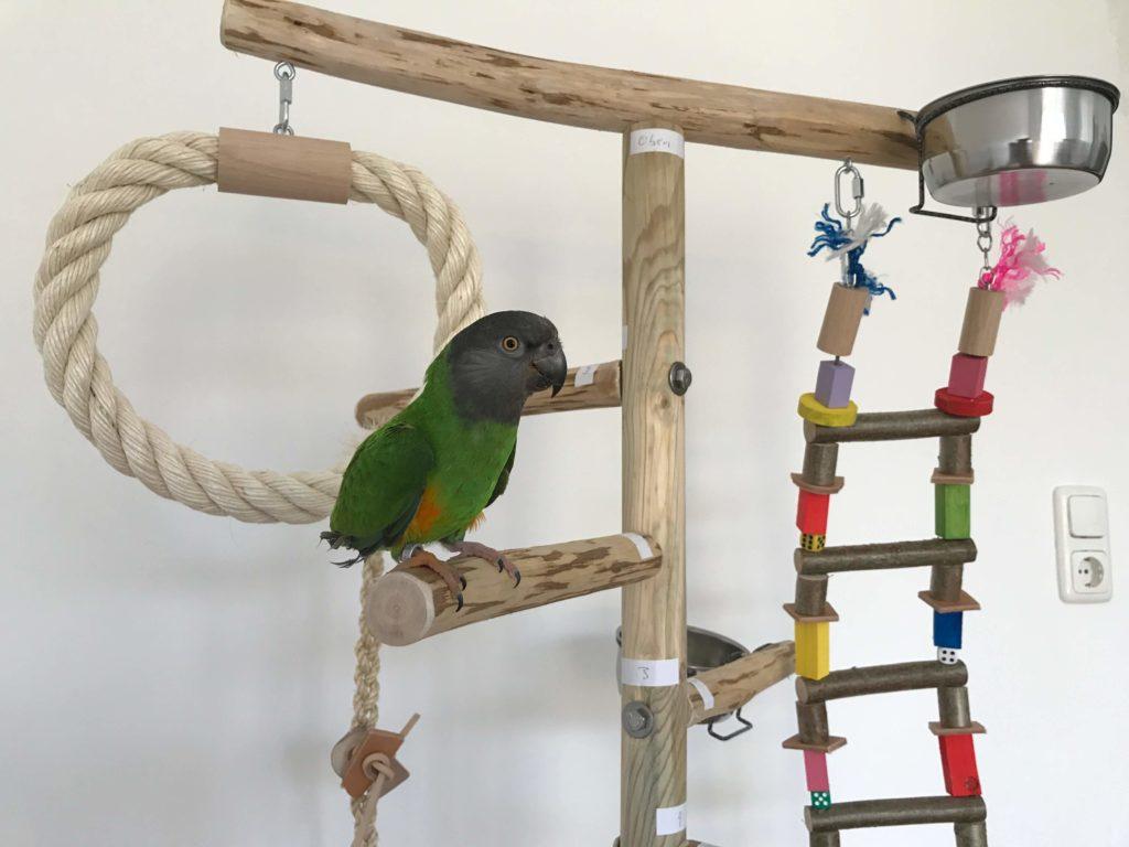 Papageienfreisitz Mohrenkopfpapagei